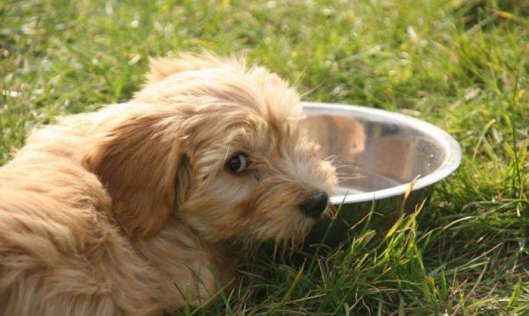 Cómo elegir el mejor pienso para perros diabéticos