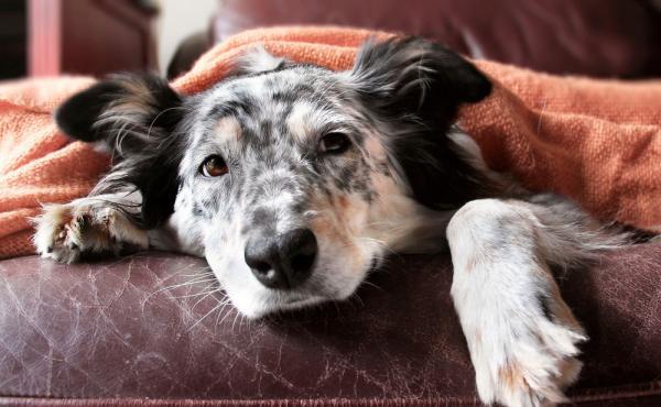 Cómo prevenir los gases en perros