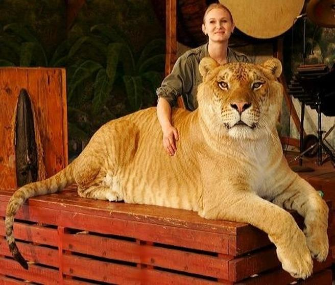 cruzan a un tigre con un leon y surge el ligre