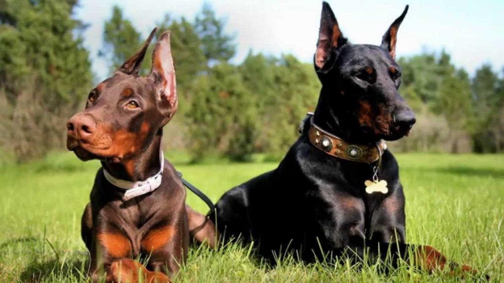 Cuáles son los cuidados que necesita un perro doberman