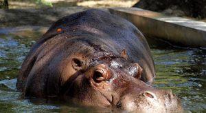 delincuentes el salvador hipopotamo