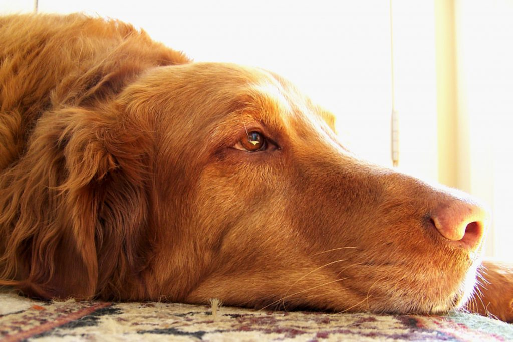 Diagnóstico y tratamiento del hipertiroidismo en los perros