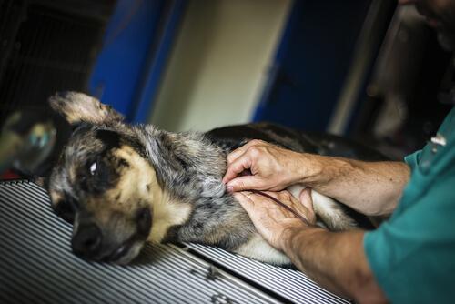 donación de sangre para perros