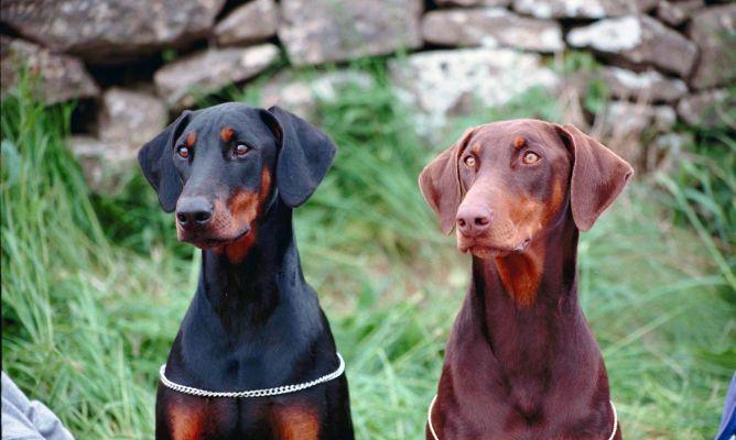 educación de los perros doberman