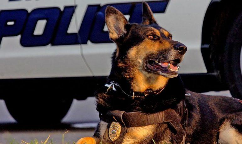 En México se ofrecen en adopción los perros policía jubilados