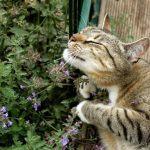 gato con hierba gatera
