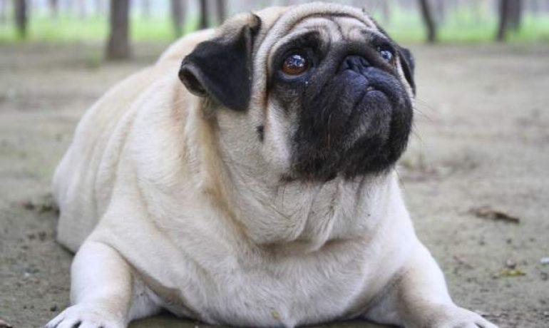 Hipotiroidismo en perros