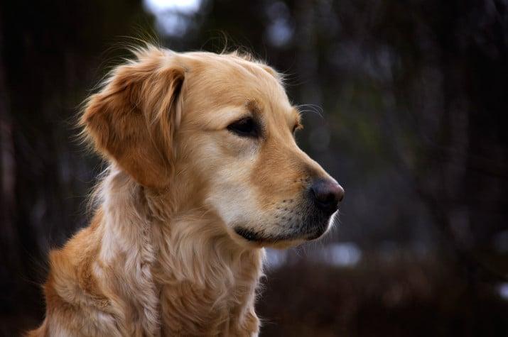 Insuficiencia renal en crónica en perros