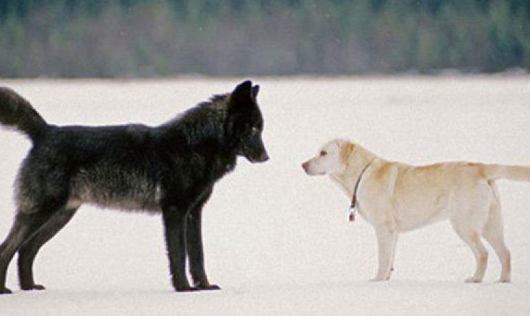 La estrecha amistad entre un lobo y un perro
