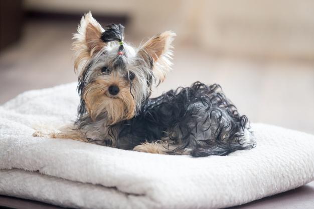 La quimioterapia tiene efectos secundarios para los perros