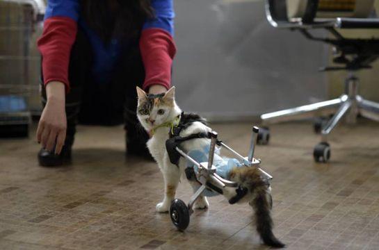 patas bionicas para gatos discapacitados
