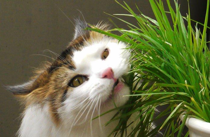 Por qué produce la hierba gatera estos efectos
