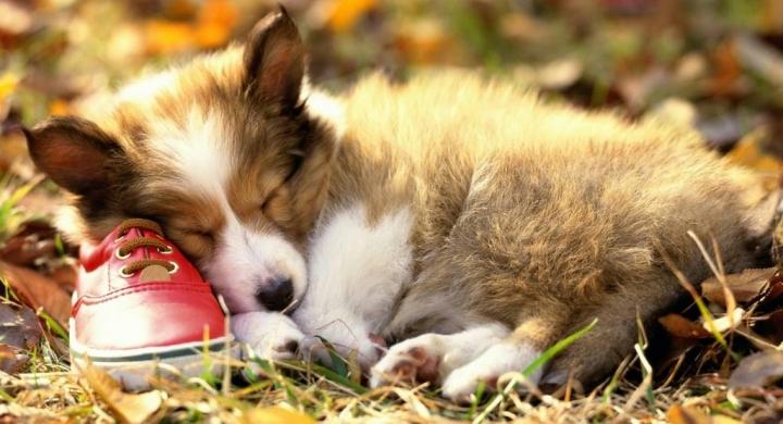 Por qué roncan los perros