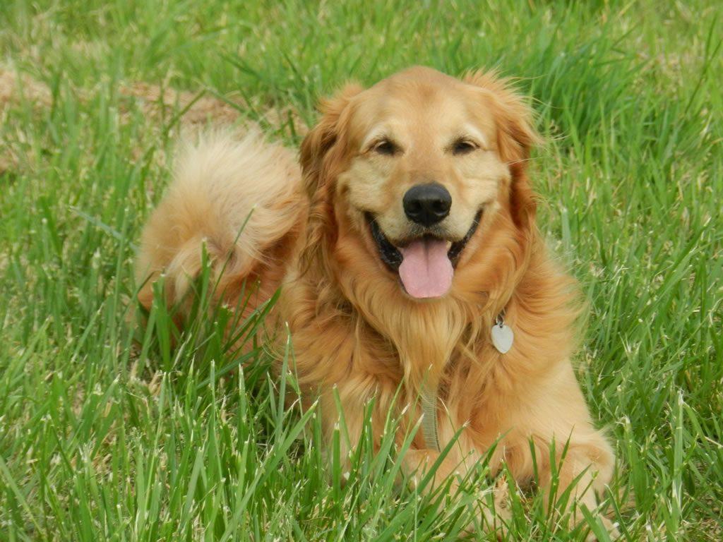 Qué implica la pérdida de sentidos en los perros ancianos