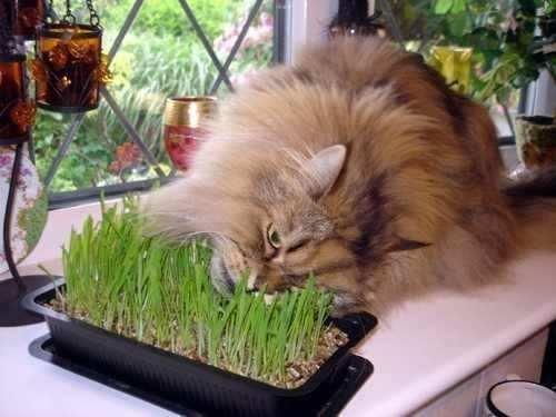 Qué les produce a los gatos la hierba gatera