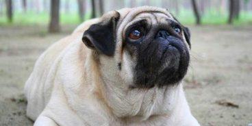Qué problemas en la tiroides pueden tener los perros