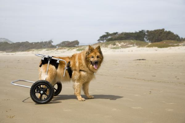 Síntomas de alerta de displasia de cadera en perros