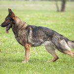 Síntomas y tratamiento de la displasia de cadera en los perros