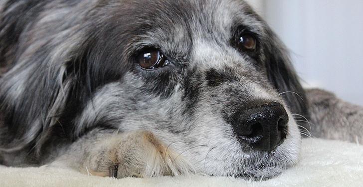Soluciones a los problemas de la vejez canina