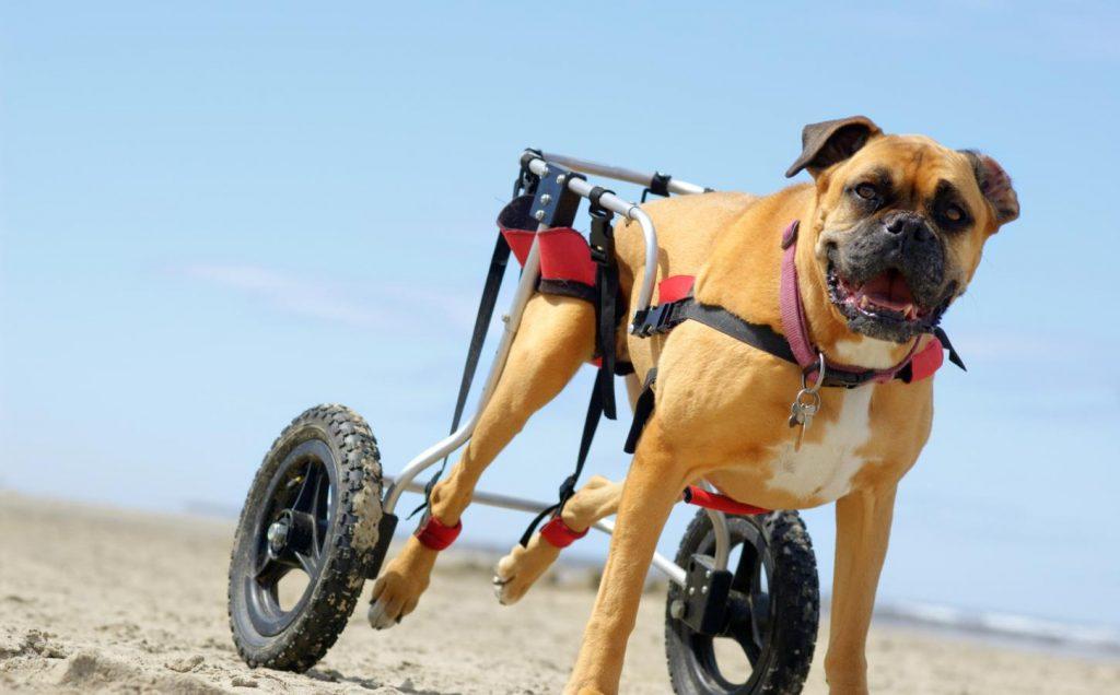Tratamiento de la displasia de cadera canina