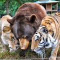 un león, un tigre y un oso son los mejores amigos y compañeros