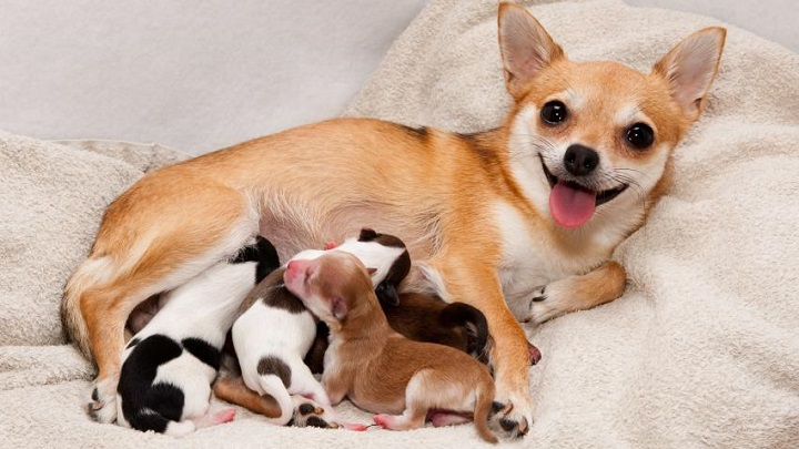 Un parto canino puede pausarse hasta el día siguiente y luego continuar