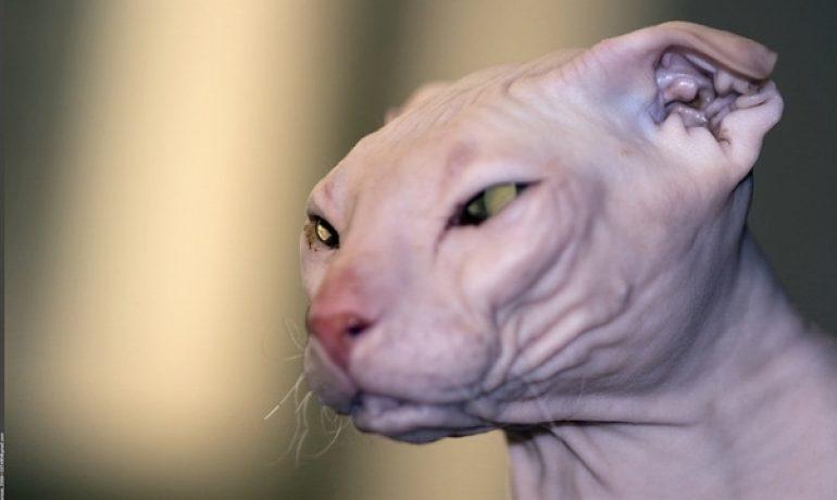 5 razas de gatos exóticos