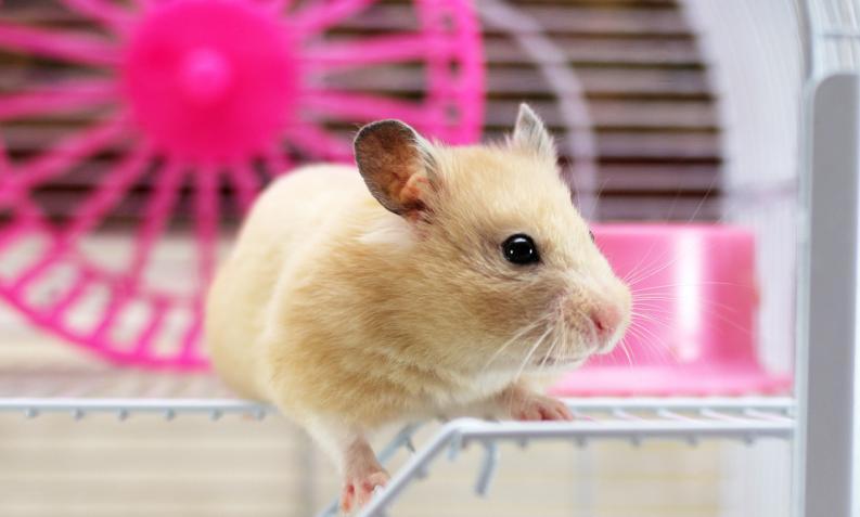 los hamsters como mascotas
