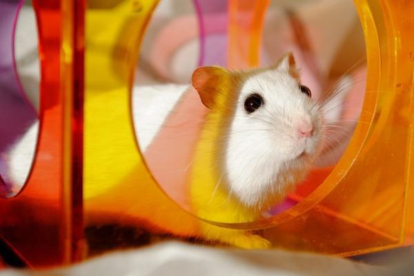como son los hamsters como mascotas