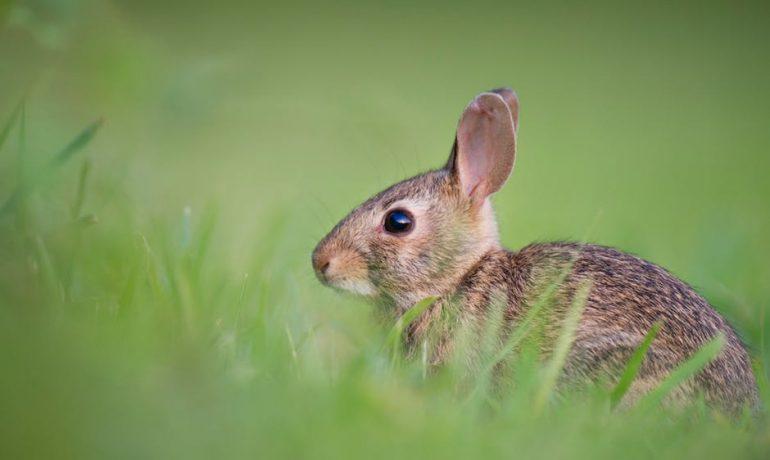A mi conejo se le cae el pelo, qué le pasa
