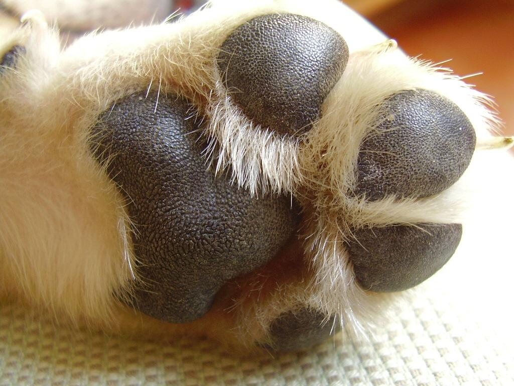 Cómo cortarle las uñas a un cachorro