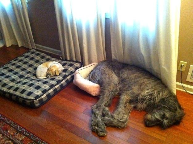 Cómo se transmite la filariosis canina