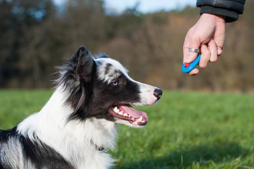 Cómo se utiliza el clicker para perros
