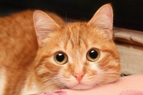 Cómo y por qué se contagia la tiña en gatos