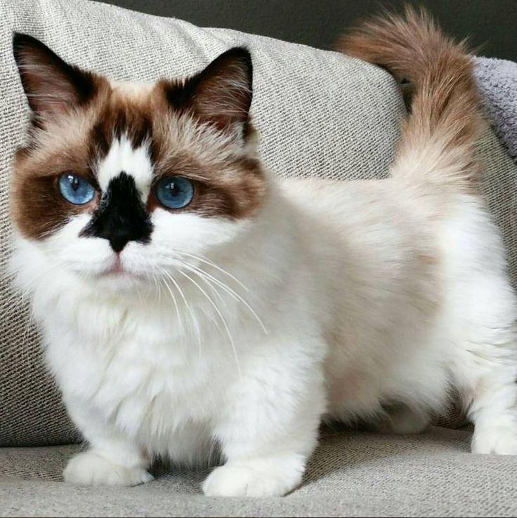 Carácter de los gatos munchkin