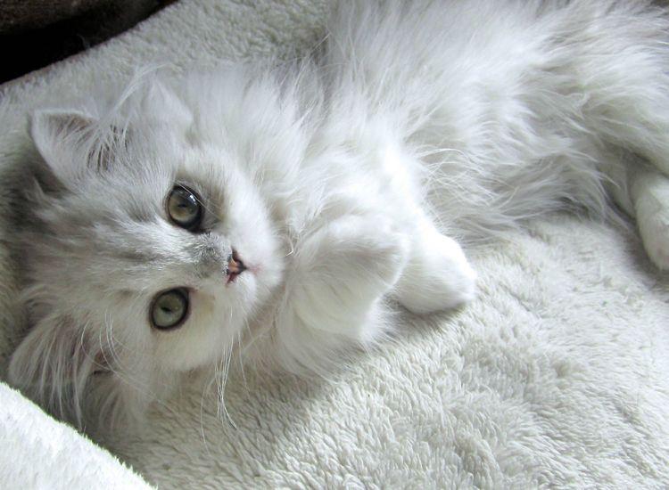 Carácter del gato de Angora