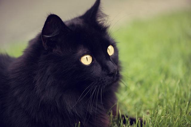 Características del gato de Angora
