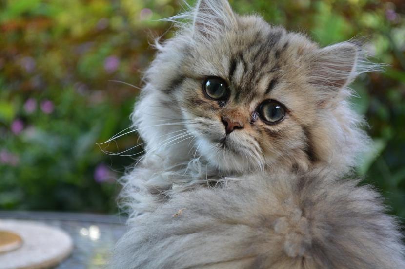 Conjuntivitis en gatos