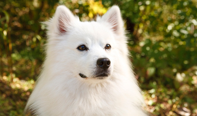 Consejos para comprar tu cachorro American Eskimo