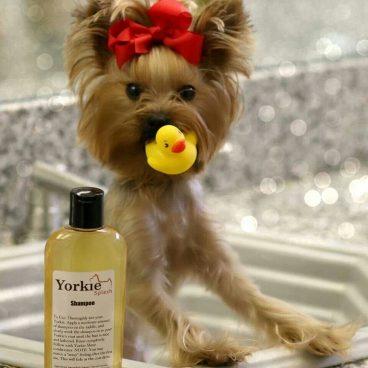 Consejos para cuidarle el pelo a un perro Yorkshire Terrier