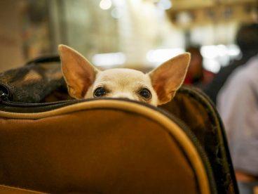 Cuánto cuesta viajar en avión con mascota