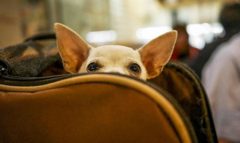 Cuánto cuesta viajar en avión con mascota? Precios y compañías