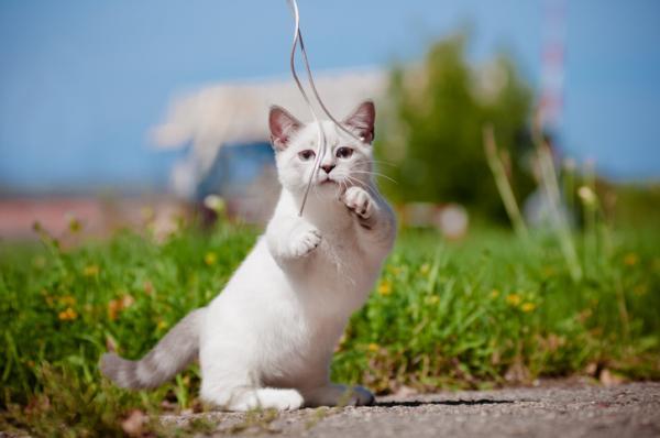 Cuidados del gato munchkin