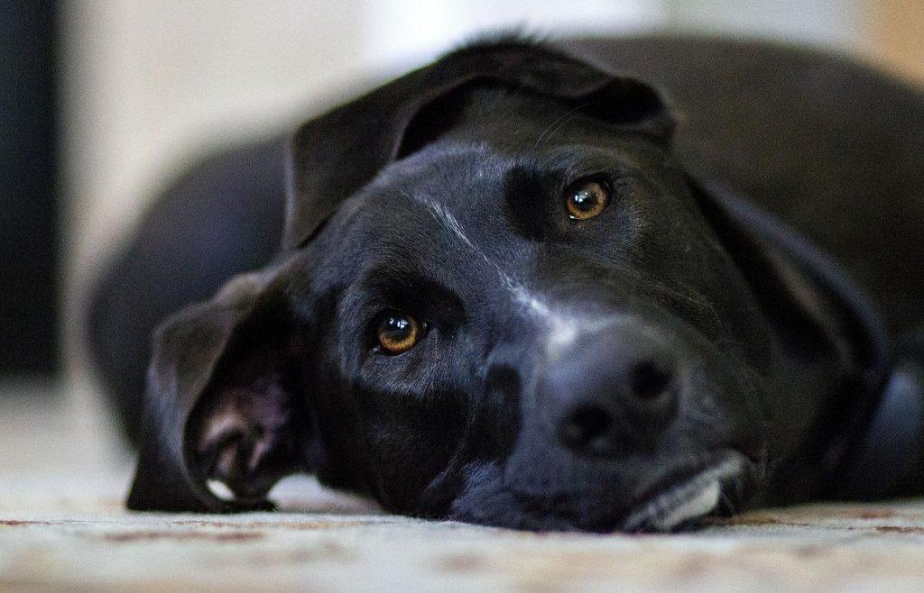 Curar la diarrea de tu perro paso a paso