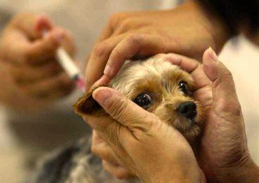 Efectos secundarios de las vacunas para perros