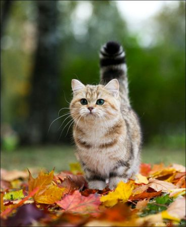 El gato munchkin, un angelito de patas cortas