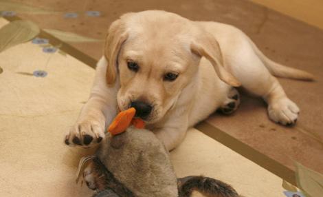 Etapas de la gingivitis en perros