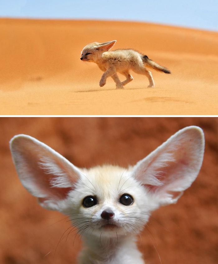 Fénec o zorro del desierto
