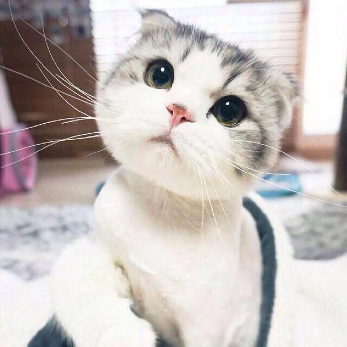 Historia del gato munchkin