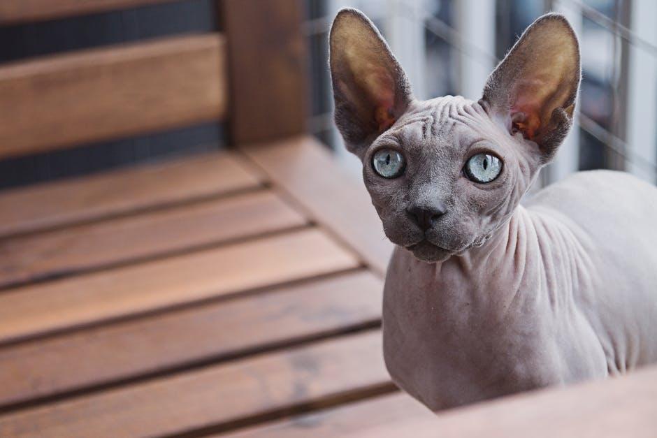 el gato esfinge